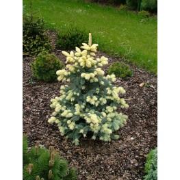 Picea pungens Białobok Świerk kłujący Białobok