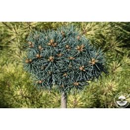 Picea pungens Brynek Świerk kłujący Brynek