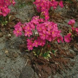 Primula rosea Grandiflora Pierwiosnek różowy Grandiflora