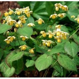Epimedium versicolor Sulphureum Epimedium pstre
