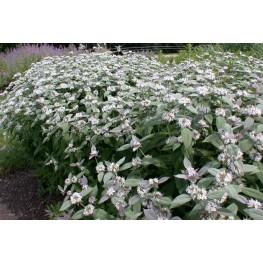 Pycnanthemum muticum Mięta amerykańska