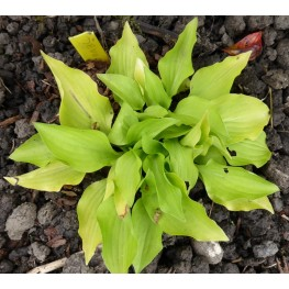 Hosta Devon Gold Funkia