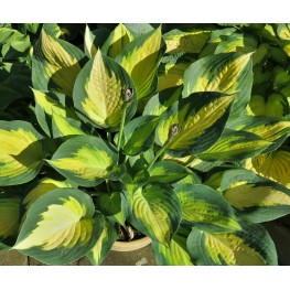 Hosta Forbidden Fruit Funkia