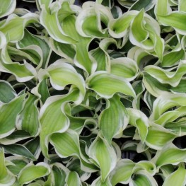 Hosta Let's Twist Again Funkia