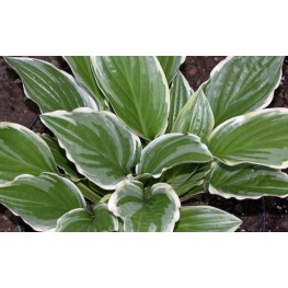 Hosta Royal Charmer Funkia