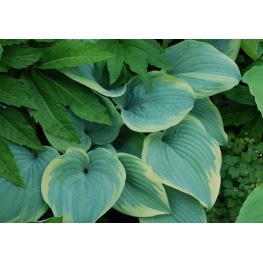 Hosta Secret Love Funkia