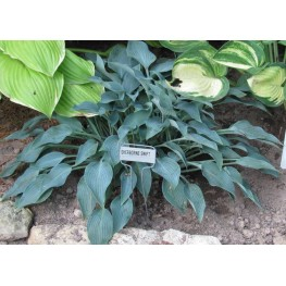 Hosta Sherborne Swift Funkia