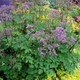 Thalictrum Black Stockings Rutrewka
