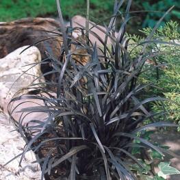 Ophiopogon planiscapus Nigrescens Konwalnik