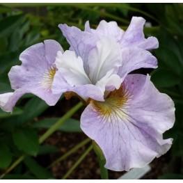 Iris siberica Dawn Waltz Kosaciec syberysjki