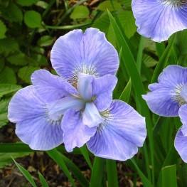Iris sibirica Dear Delight Kosaciec syberyjski