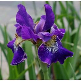 Iris sibirica Golden Edge Kosaciec syberyjski