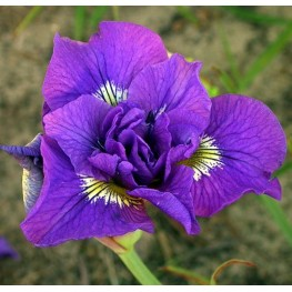 Iris sibirica Double Standards Kosaciec syberyjski