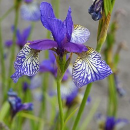 Iris sibirica Shaker's Prayer Kosaciec syberyjski