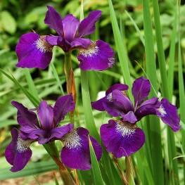 Iris sibirica Teal Velvet Kosaciec syberyjski