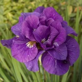 Iris sibirica Tumble Bug Kosaciec syberyjski