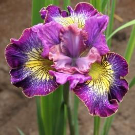 Iris sibirica How Audacious Kosaciec syberyjski