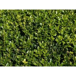 Buxus sempervirens Bukszpan wieczniezielony