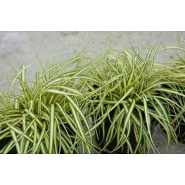 Carex oshimensis Maxi Gold Turzyca