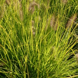 Pennisetum alopecuroides Hameln Gold Rozplenica