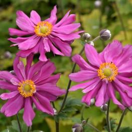 Anemone japonica Prinz Heinrich Zawilec japoński