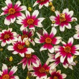 Coreopsis Sunstar Rose Nachyłek