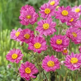 Anemone × hybrida Margarete