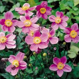 Anemone japonica September Charm Zawilec japoński