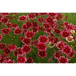 Coreopsis Ruby Frost Nachyłek