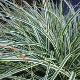 Carex oshimensis Everest Turzyca