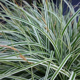 Carex oshimensis Everest Turzyca