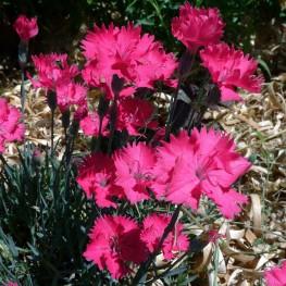 Dianthus gratianopolitanus Badenia Goździk siny