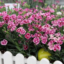 Dianthus Pink Kisses Goździk