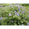 Geranium himalayense Johnson's Blue Bodziszek himalajski