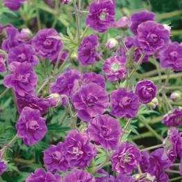 Geranium himalayense Plenum Bodziszek himalajski