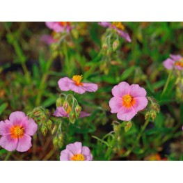 Helianthemum Lawrensons Pink Posłonek