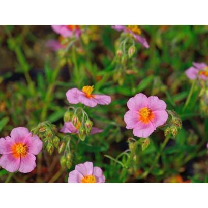 Helianthemum Lawrensons Pink Posłonek