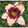 Hemerocalis Exotic Treasure Liliowiec