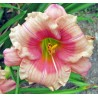 Hemerocallis Janice Brown Liliowiec