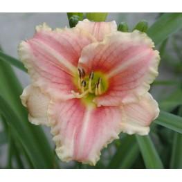 Hemerocallis Little Anna Rosa Liliowiec