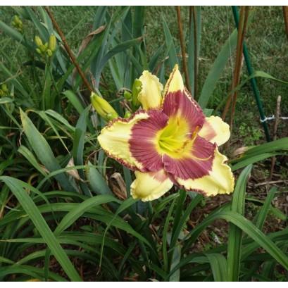 Hemerocallis Punxsutawney Phill