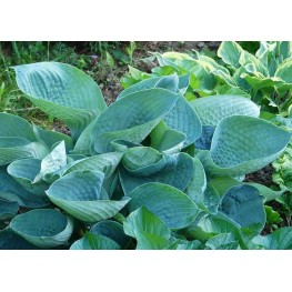 Hosta Big Daddy Funkia