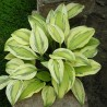 Hosta Captains Adventure