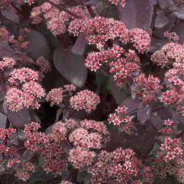 Sedum hybridum Xenox Rozchodnik ogrodowy