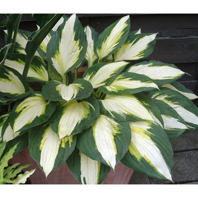 Hosta Color Festival Funkia