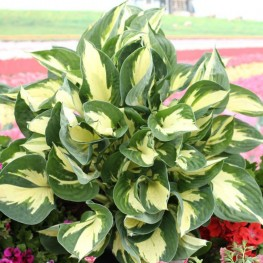 Hosta Colored Hulk Funkia