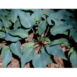 Hosta Deane's Dream Funkia