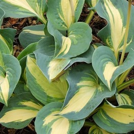 Hosta Dream Queen Funkia