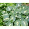 Hosta Dream Weaver Funkia