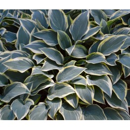 Hosta Dress Blue Funkia